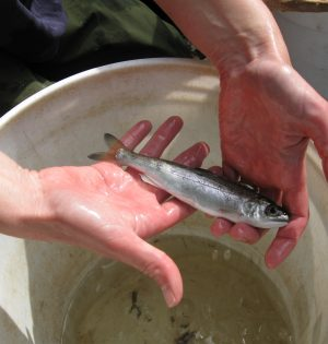 GreenValleyCreekCoho2_SeaGrant