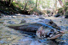 DutchBill_SpawnedCoho2_BrockDolman